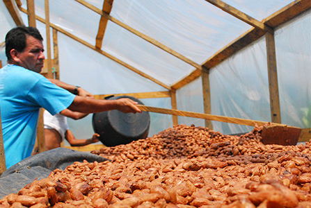 farmer raking cocoa beans dry
