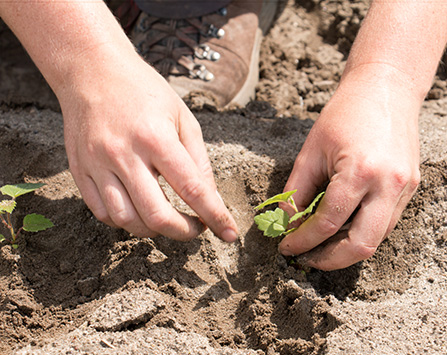 hands planting tress seedlings in dirt