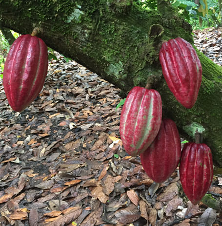 a tree full of red cacao pods