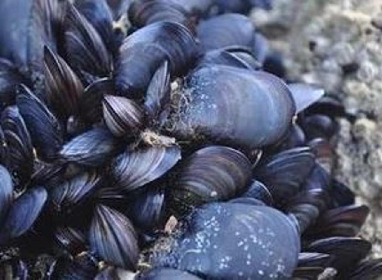 Mussel Killer