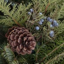Juniper Berries and Incense Cedar