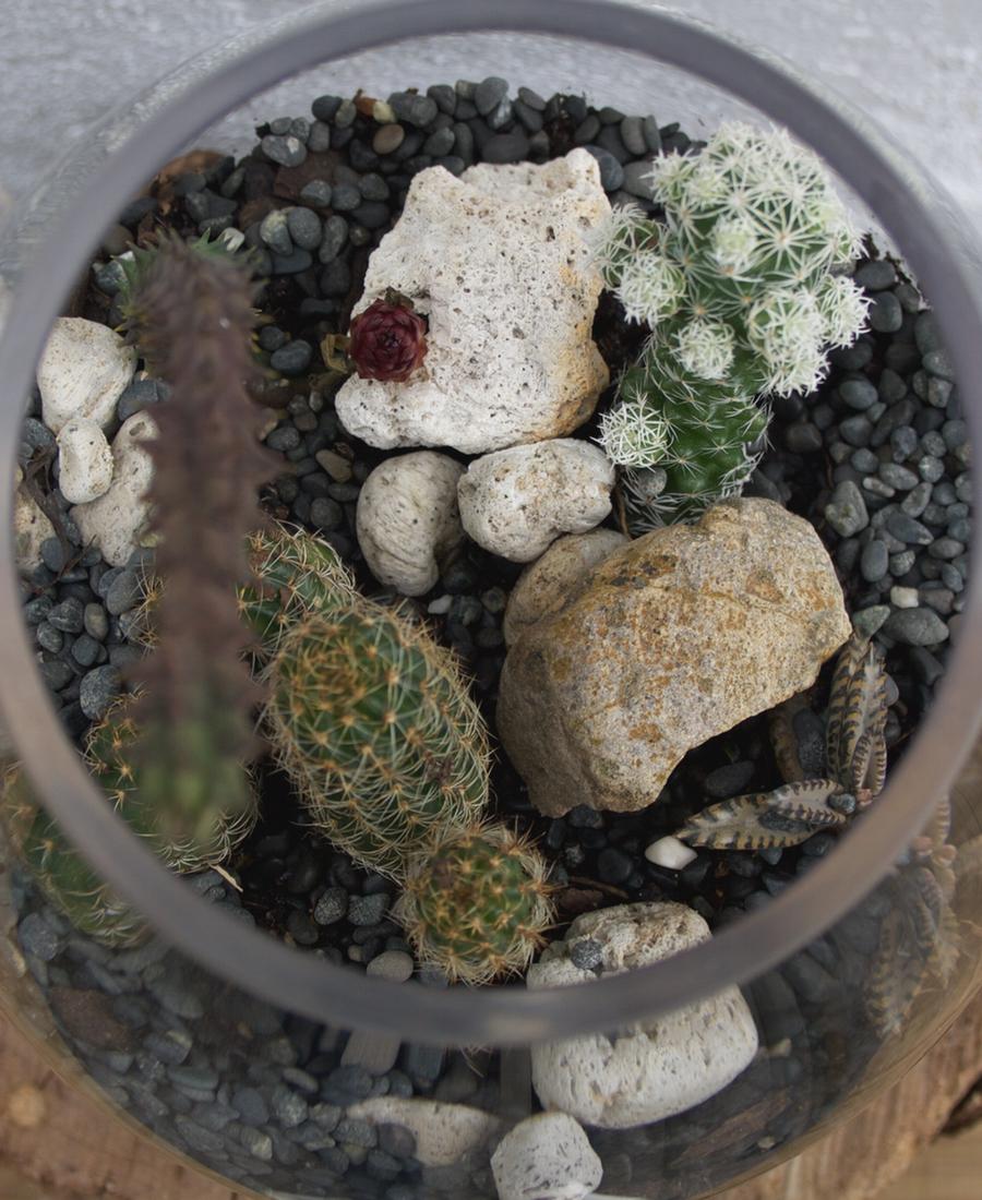 Terrarium of Cactus
