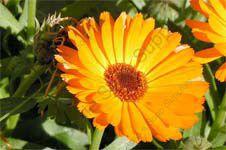 Infused Calendula flowers