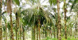 Sustainable Palm Oil RSPO