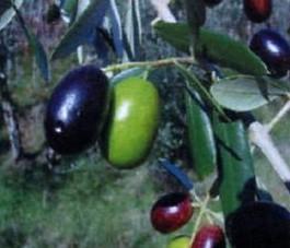 Olive dervied surfactants for shampoo