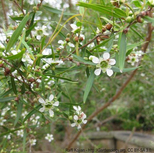 Lemon Tea Tree Essential Oil, Organic