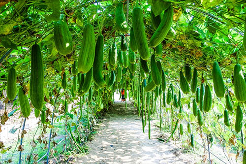 loofah-farm-growing-trellis-a.jpg