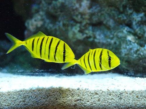 Golden Trevally Pilot Fish (Gnathandon speciosus)