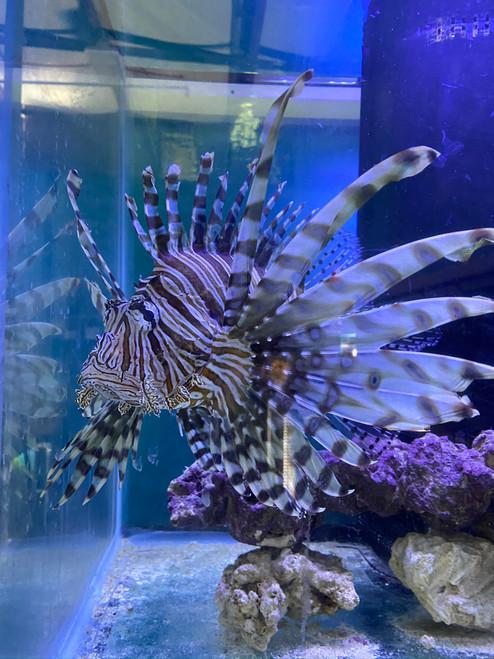Volitan Lionfish Show size (Pterois volitans)