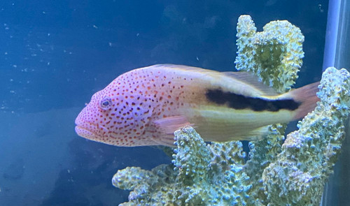Freckled Hawkfish showsize (Paracirrhites forsteri)