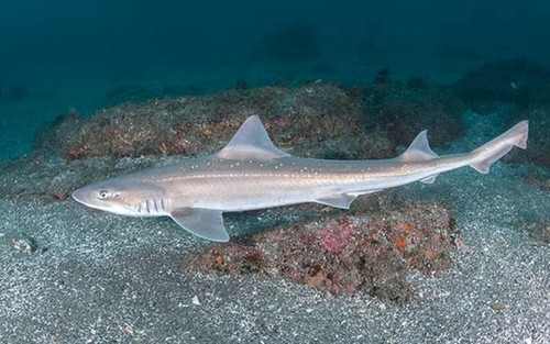 Smoothhound Shark (Mustelus californicus)