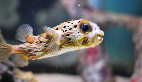 Porcupine Pufferfish (Diodon nicthemerus)