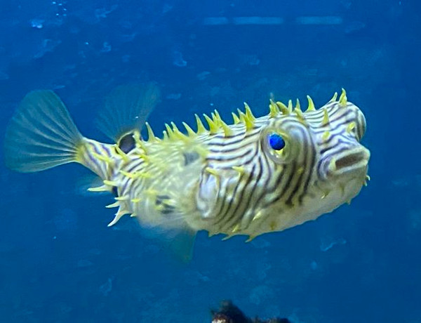 Spiny Box Pufferfish