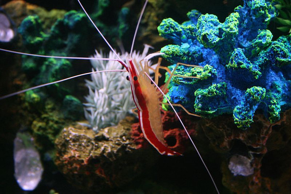 Lonnie Huffman image of Cleaner Shrimp