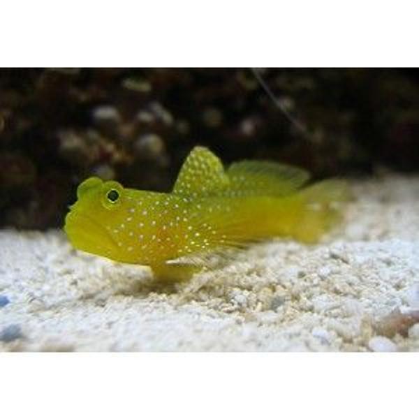 Yellow Watchman Goby (Cryptocentrus cinctus)