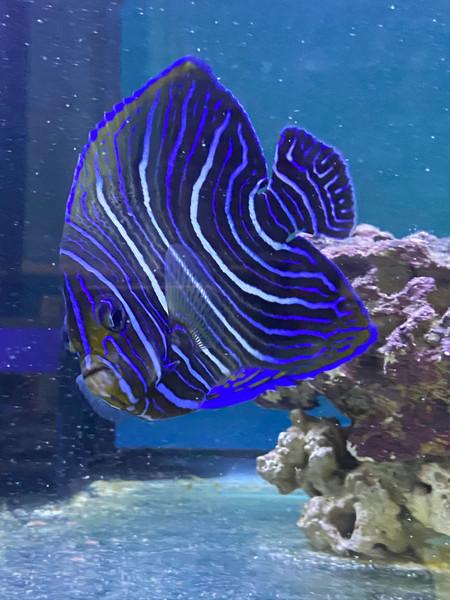 Koran Angelfish (Pomacanthus semicirculatus) juvenile