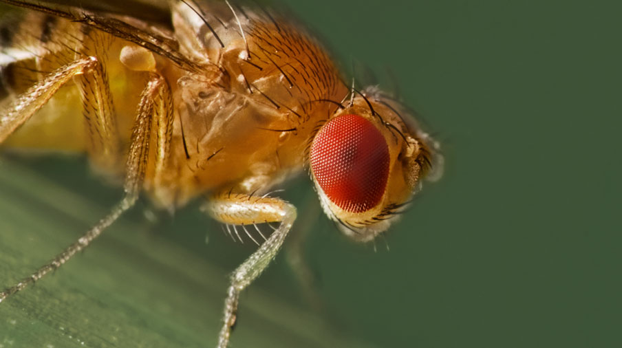 Fruit Flies close up