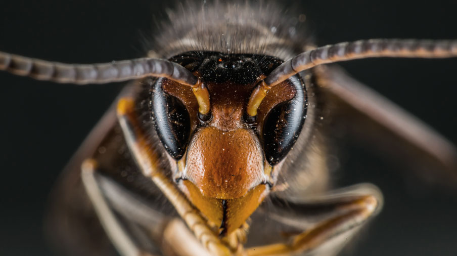 Hornets close up