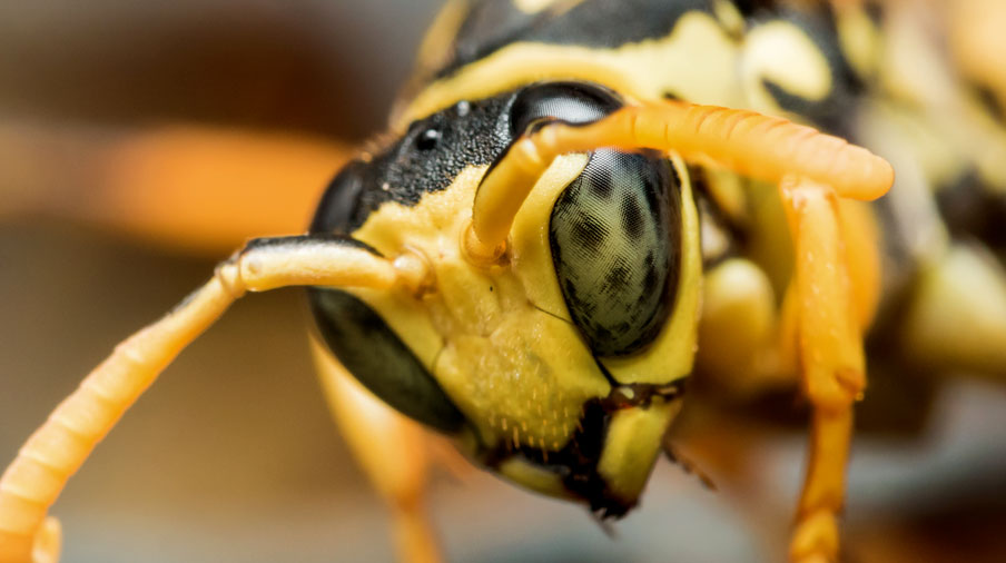 Yellow Jackets close up