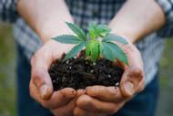 How to Grow Hemp: DIY CBD?