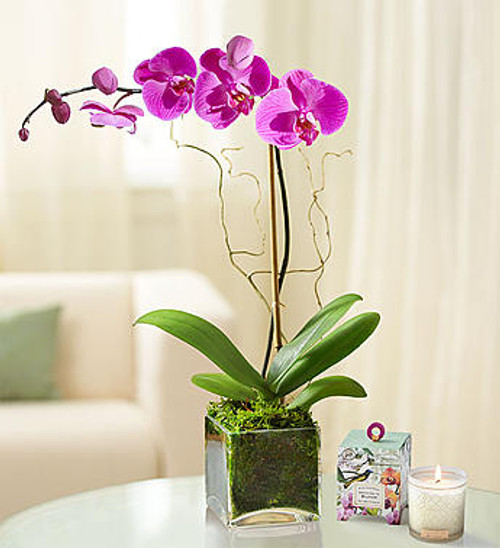 Elegant Orchid Lovely, graceful, exotic. Our elegant orchid has the unique ability to bring us closer to the people we love. With a long, delicate stem that reaches up to its striking, wing-shaped white or purple blooms, this stunning beauty will add warmth & serenity to their space. Displayed inside a sleek cube container, our unique gift is one they'll enjoy for a long time to come.
