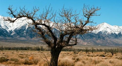 Tree #932 Manzanar National Park Eastern Sierra Greeting Card
