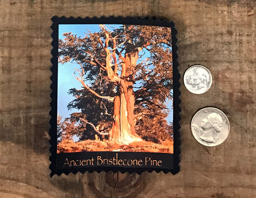 Ancient Bristlecone Pine Tree #806 Sew On Patch