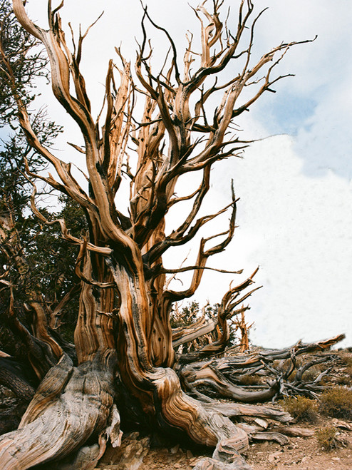 Ancient Bristlecone Pine Tree  Greeting Card
