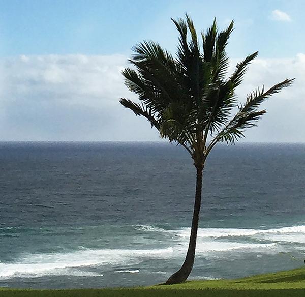 palm-tree-600-pxls-croppedxhawaii-kaui-.jpg