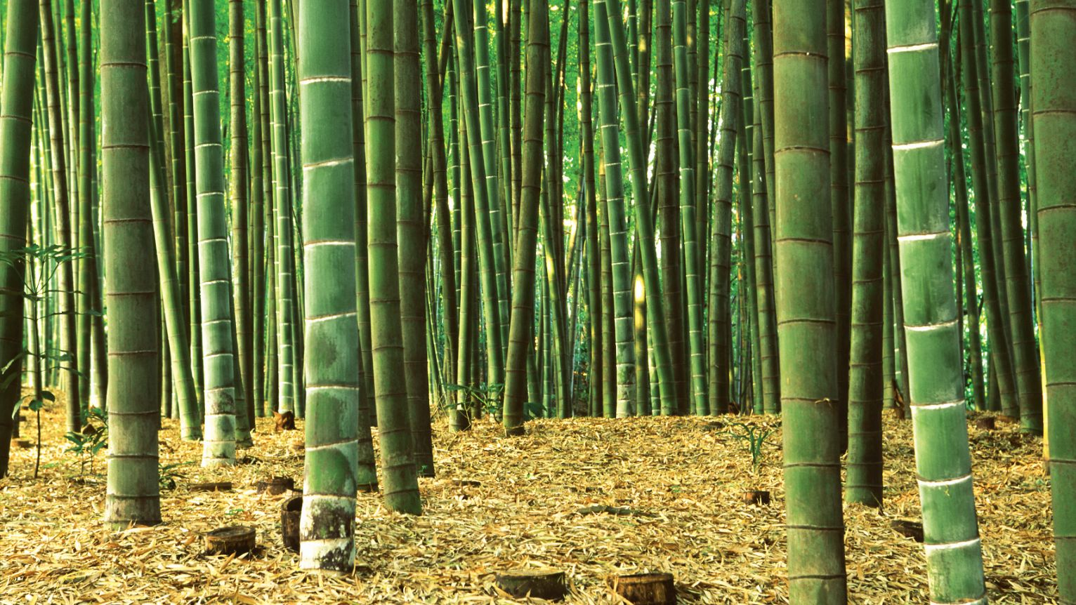 bamboo forest and bamboo stumps after being cut