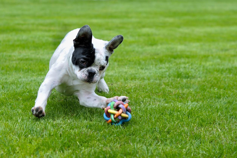 The Best Types of Toys for a French Bulldog