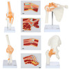 Axis Scientific Functional Joints and Cross Sections Anatomy Model Set