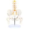 Axis Scientific Male Pelvis with Femur Heads and Lumbar Vertebrae Anatomy Model