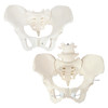 Axis Scientific Female Pelvis Set - Fixed and Articulating Anatomy Models