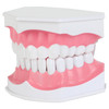Axis Scientific Enlarged Teeth Care Model Front Left View
