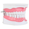 Axis Scientific Enlarged Teeth Care Model Right Front View