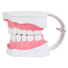 Axis Scientific Enlarged Teeth Care Model Left Side View