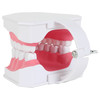Axis Scientific Enlarged Teeth Care Model Back Left View