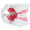 Axis Scientific Enlarged Teeth Care Model Back Right View