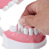 Axis Scientific Enlarged Teeth Care Model Person's Hand Interacting with Removable Tooth