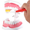Axis Scientific Enlarged Teeth Care Model Person's Hanf Interacting with Toothbrush and Teeth