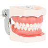 Axis Scientific Dental Typodont Model Right Side View, Mouth Closed