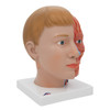 side view of the facial structure of the life-size human head anatomy model with neck