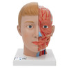 frontal view of the life-size human head anatomy model with neck