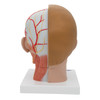 rear view of the life-size human head anatomy model with neck showing the muscles, nerves, vessels, and bony structures