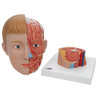 frontal view of the life-size human head anatomy model with neck detached from the neck base showing the internal structures of the neck