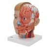 side view of the life-size human head anatomy model with neck showing the muscles, nerves, vessels, and bony structures