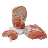 side view of the disassembled life-size human head anatomy model with the neck showing the muscles, nerves, vessels, and bony structures