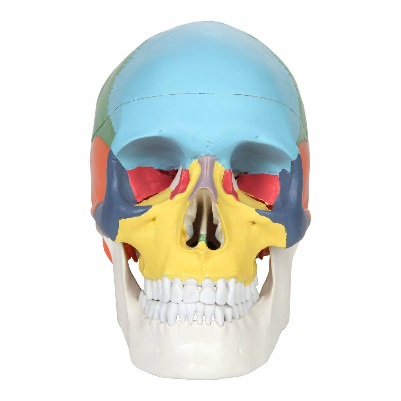 DMZH Didactic Human Skull Model Life Size Painted Medical Anatomical Skull Model Cast from Natural Specimen Scientist Child Experiment Teaching Model