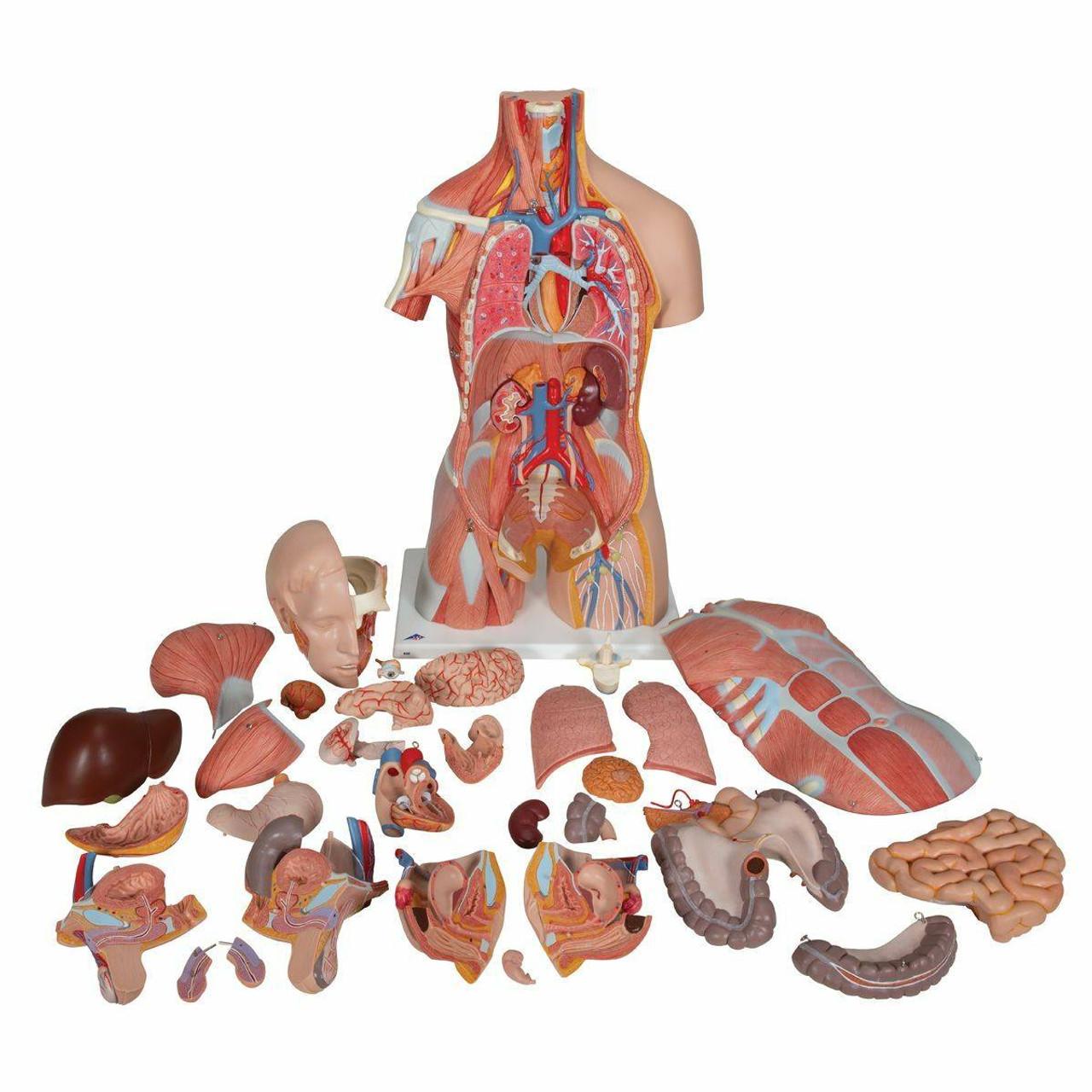 Anatomy Model Muscle Torso In 31 Parts